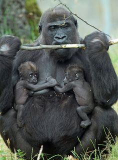 [Mom gorilla with twins. She will never sleep again [Mom gorilla with twins. Primates, Mammals, Cute Baby Animals, Animals And Pets, Funny Animals, Strange Animals, Animals Images, Beautiful Creatures, Animals Beautiful