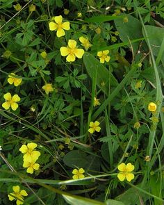 Tormentil - Potentilla erecta, proficient in Ms. before everyone pulls the mowers out.......