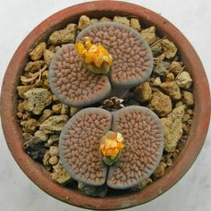 Lithops hookeri [vermiculate form], C 336.