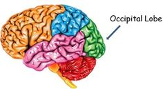 The Occipital Lobe in the Brain. from brainmadesimple.com