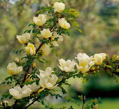 Father Hugo's Rose (Rosa hugonis) features reddish new stems, fern-like foliage, and cupped single, lightly fragrant pale yellow flowers that appear in late spring. This Western Asian species forms a dense shrub and grows 6 feet wide. It's also known as Rosa zanthia var. hugonis. Zones 5-9