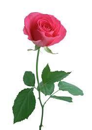 Yellow Rose png - ค้นหาด้วย Google