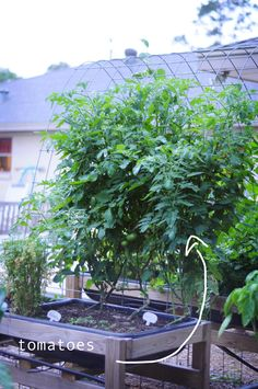 tomato bush! so excited to get lots of tomatoes this summer! I planted marigolds at the base because they are supposed to keep bugs away. how to garden with pictures and plans found on link.