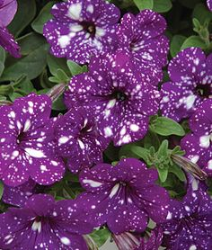 Petunia, Night Sky - Petunias at Burpee.com