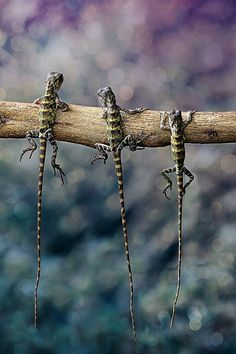 Lizards -  by iwan pruvic