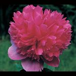 Paeonia officinalis Rosea Plena