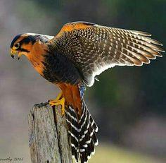 Aplomado Falcon (Falco femoralis) A selection of bird photos Exotic Birds, Colorful Birds, Pretty Birds, Beautiful Birds, Birds Of Prey, Raptor Bird Of Prey, Bird Barn, Barn Owls, Steampunk Animals