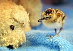 Spoonbill sandpiper: Conservationists Rush to Save a Dying Adorable Species