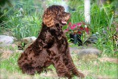 Henry is entering the 'L'Oreal doodle of the month' to win a years supply of hair products. labradoodle  o'henry chocolate bar he must be canadian
