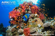 Coral reef conservation | ARKive