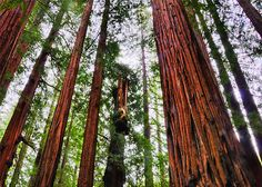 Giant Redwoods by Herman Hodges