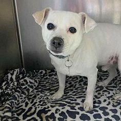 Chihuahuas For Adoption, Pet Adoption, Animal Welfare, Animal Rights, Beautiful Soul, Rescue Dogs, Montana, Safari, Pitbulls