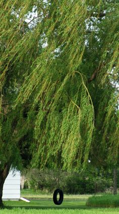 Inspirational Weeping Willow Trees Lowes
