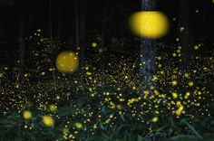 Beautiful stuff! This is some of the photos of light trails are more than man-made light painting photographs– these are slow-shutter and multi-exposure composite photos of fireflies floating about in their nightly mating ritual dances. Photographer Tsuneaki Hiramatsu has been taking these photos in the Maniwa and Okayama Prefecture in Japan during the summer rainy season, where the fireflies come out to mate after thunderstorms have passed through the region.