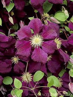 Clematis (purple unknown)