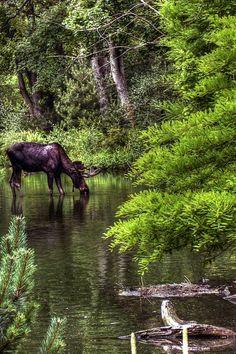 elk, moose
