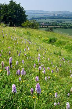 Wild orchids flowering near Dunstable Downs, Bedfordshire, England by ukgardenphotos England Countryside, Woodland Flowers, British Flowers, Orchidaceae, Wild Orchid, Landscape Pictures, Shrubs, Perennials, Wild Flowers