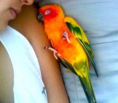 bird nap w/my Budster #sunconure