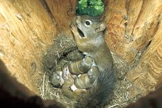 Photo by Sumio Harada/Minden Pictures.A red squirrel nurses her babies in the comfort of a snag hole. Cavity-raised squirrels are nearly twice as likely to survive as those raised in treetop nests. Cute Squirrel, Baby Squirrel, Squirrels, Cute Baby Animals, Animals And Pets, Funny Animals, Animal Babies, Beautiful Creatures, Animals Beautiful