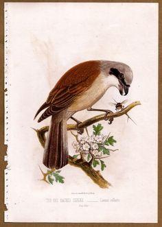 Bird: RED BACKED SHRIKE c1881 Chromolithograph