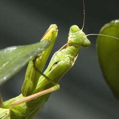 Praying Mantis - The Bug-Eating Bouncer in Your Garden