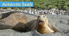 Antarctic seals list with pictures, information & videos. Discover amazing facts about seal species in Antarctica & the Southern Ocean.