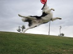 border collie frisbee dog | DALCON BORDER COLLIE: FRISBEE DOG