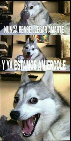 Funny Husky Meme, Funny Dog Jokes, Dog Quotes Funny, Funny Animal Memes, Dog Memes, Funny Dogs, Funny Animals, Cute Animals, Funny Memes