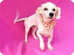 Burbank, CA - Maltese/Poodle (Miniature) Mix. Meet Cece, a dog for adoption. http://www.adoptapet.com/pet/14102537-burbank-california-maltese-mix
