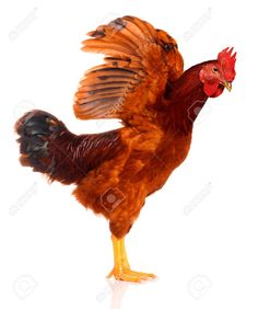 Cute Chicken Isolated On White Background Stock Photo, Picture And Royalty Free Image. Pic 8107992.