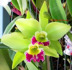 Green Cattleya Orchid Flower | ... orchids flowers com image orchid hybrid cattleya kencolor green