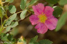 Arizona Rose at Arboretum at Flagstaff, AZ