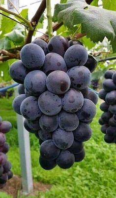 Fruit Plants, Fruit Garden, Fruit Trees, Fruit And Veg, Fruits And Vegetables, Fresh Fruit, Exotic Fruit, Tropical Fruits, Beautiful Fruits