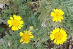 Anthemis tinctoria (dyers chamomile) attracts beneficial insects, is ornamental and is used as a yellow dye.
