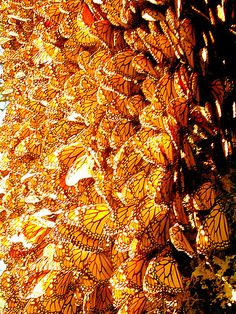 Mariposas monarca #México