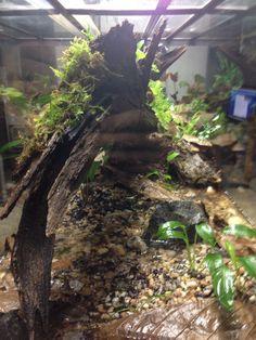 Solitude dart frog vivarium