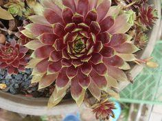 """1 Rosette Sempervivum """"Romiley""""   eBay"""