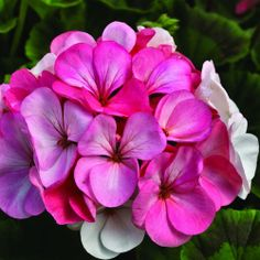 Geranium, Pinto Premium White to Rose