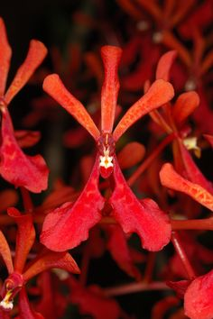 Orchid Flower-Macro: Renanthera philippinensis