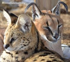 Cleo, the serval, and Sampson, the caracal - the definition of best friends  Read more about them at: http://www.wildcatsanctuary.org/residents/small-cats/caracal/sampson/
