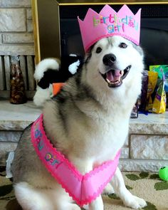 #HappyBirthday to Memphis Belle! She turns 3 years old today! Her #Birthday video just went up on our YouTube channel! Happy birthday beautiful girl!  Find us at www.YouTube.com/GTTSD where we upload 3-4 videos a week! ________________________  #GonetotheSnowDogs #GTTSD #SiberianHusky #husky #snowdog #huskies #dogs  #huskyofinstagram #huskiesofinstagram #dog #huskylove #huskygram #huskypics #itsahuskything #huskyphotography  #dogsofinstagram #happydog  #youtube #youtuber #vlogger #michigan…