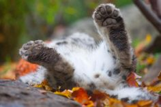 Even snow leopards enjoy a roll in the autumn leaves at the Central Park Zoo.