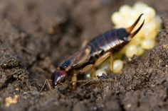 how to get rid of european earwigs in your house