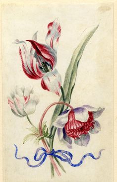 Drawing from an album, red and white Tulip, and white and red, and purple and red Anemones, tied with blue ribbon Watercolour over metalpoint, shaded with grey wash, on vellum by Alexander Marshall. British, date 1639-1682.