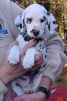 Dalmatian puppy, PLEASE I NEED HER!