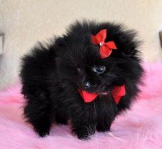 I'm in love! Black Pomeranian puppy
