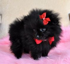 Black Pomeranian puppy! <3