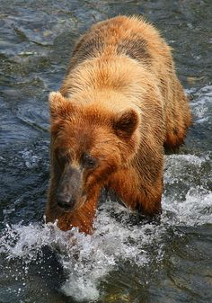 Brown bear walking through the water