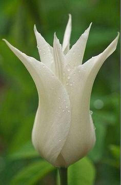 Rare Tulip https://www.facebook.com/XploringNature/photos/a.1427357254239024.1073741828.1427276504247099/1805767029731376/?type=3&theater