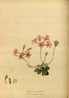 114714 Pelargonium nummulifolium Salisb. / Hooker, W., Salisbury, R.A., The paradisus Londinensis, t. 23 (1805) [W. Hooker]